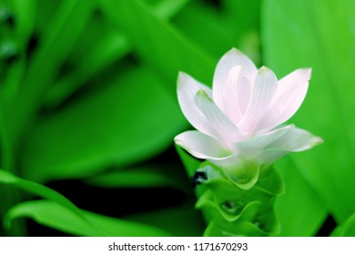 Siam Tulip (known as the Krajiew Flower) on green background. Close up of beautiful white flower.