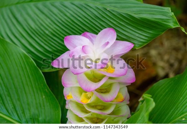 Siam Tulip (Krachai flower) at Phichit Province,Thailand.