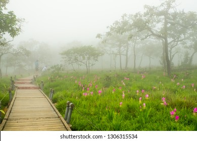Siam tulip, a pink flowers and tropical plant which grow up in Rainy season. One of the most famous place for sightseeing by walking along the wooden bridge and surrounded by the mist. Thailand.