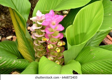 Siam Tulip or Shampoo Ginger closeup