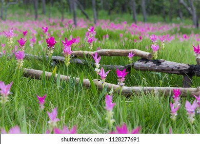Siam tulips flower field blooming with pink color in the forest of Thailand mountain.