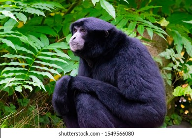 Siamang  an arboreal black furred  native to the forests in Indonesia, Malaysia and Thailand , green tree leaves as background.