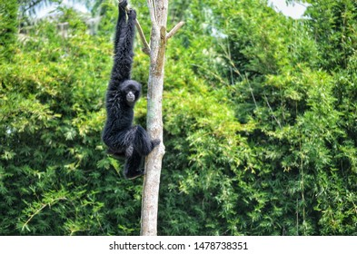 The siamang is an arboreal black-furred gibbon native to the forests of Indonesia, Malaysia and Thailand. The largest of the gibbons, the siamang can be twice the size of other gibbons.