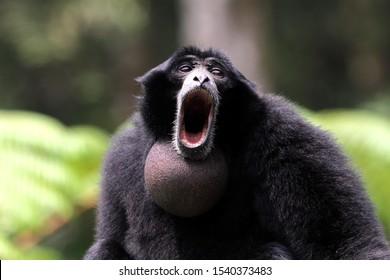 Siamang, face of siamang, animal closeup, siamang calling