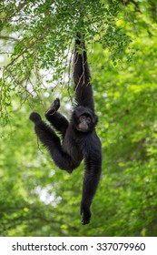 Siamang Gibbon hanging in the tree.