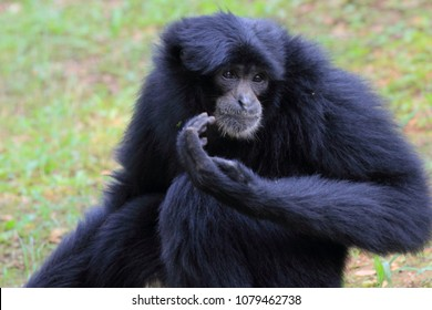 Siamang, the largest gibbons