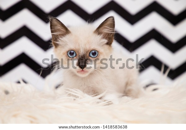 Siamese Baby Cat Blue Eyes Furry Stock Photo Edit Now