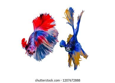 Siamese betta fish beautiful color