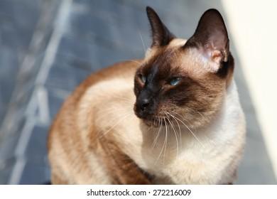 siamese blue point cat