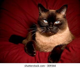Siamese Blue point/Himalayan white point. Cat is resting on a red pillow, posing for the camera.