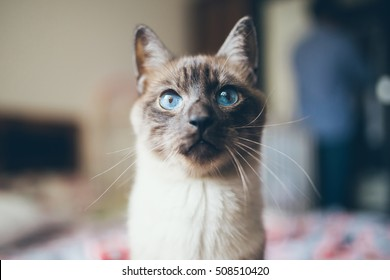 Siamese cat with blue eyes. Blind cat.