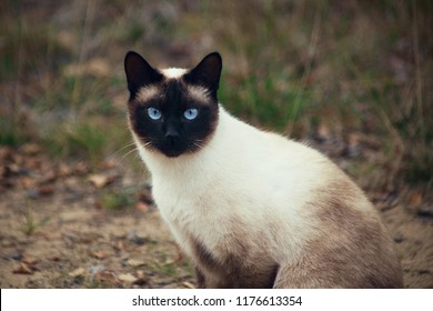Siamese cat with blue eyes is looking towards the camera tensely, close up