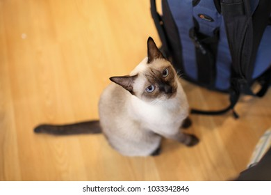 Siamese cat, It is also called the Siam cat, and is called the queen of the cat.