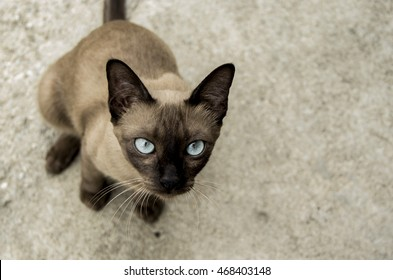 The Siamese Cat Clubs Seal brown and With blue eyes of Thailand