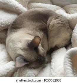 Siamese cat curled up on a cream blanket