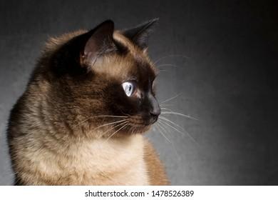 Siamese cat. Cat face in profile on a dark background