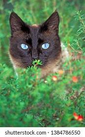 Siamese Cat, female portrait, watching from behind flower bush