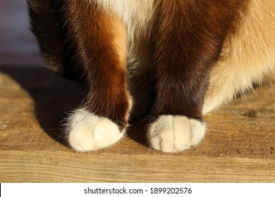 Siamese Cat Fluffy Cute Paws Fur Close-up Sitting on Wooden Porch