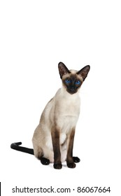 Siamese cat in front of white background