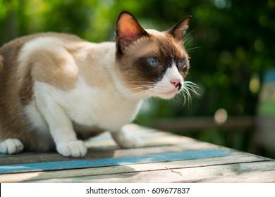 Siamese Cat in the garden