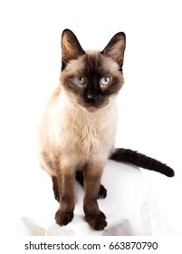 Siamese Cat - High Key - 1