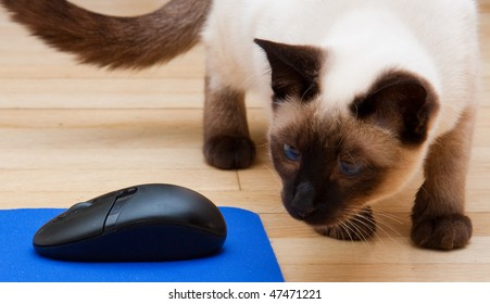 Siamese Cat Looking At Computer Mouse on a Mousepad.  He's approaching the mouse from behind