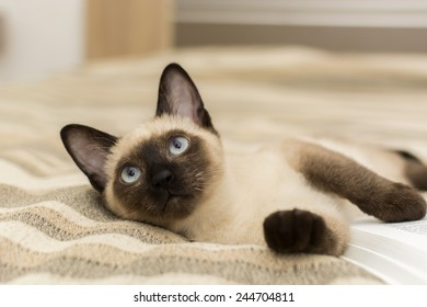Siamese cat lying on the bed