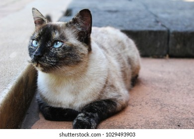 Siamese cat lying on floor, watching birds with beautiful blue eyes