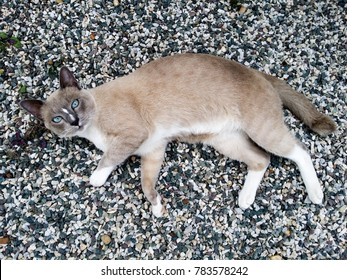 A Siamese cat is lying on a ground pebble-strewn floor and looking at the camera with his beautiful blue eyes