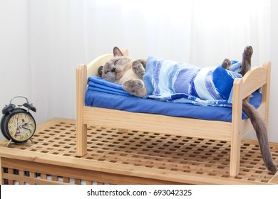 A Siamese cat lying on a wooden bed covered with a blanket with clock