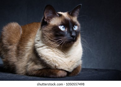 Siamese cat on a black studio background