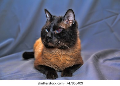 Siamese cat on a gray background