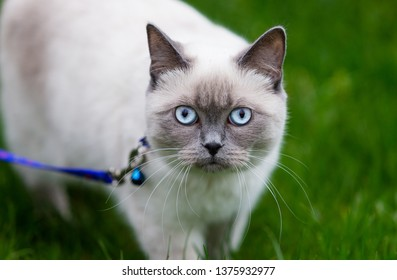 Siamese cat on green grass. Cat in nature background. Beautiful eyes and color