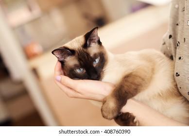 Siamese cat on human hand.