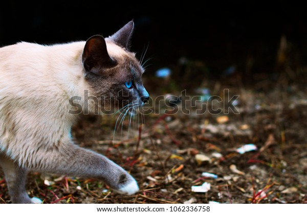 Siamese cat is on the leaves in the forest