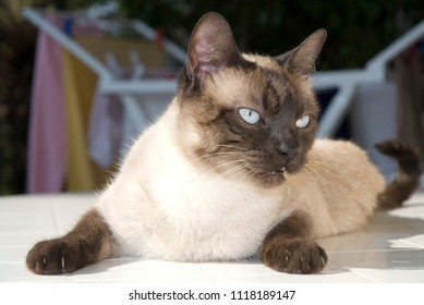 Siamese cat on the table
