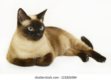 Siamese cat on the white background