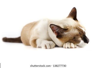 Siamese cat on white background .