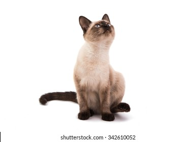 Siamese cat on a white background