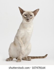Siamese cat, portrait against white background