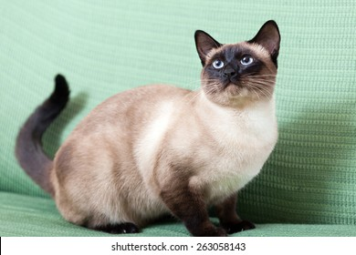 Siamese cat resting on  couch at home.
