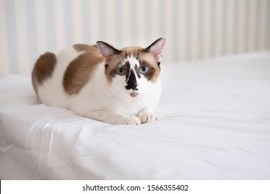 Siamese cat, seal point , blue eyes and white with mustache. The cat laying on a white bed in bedroom and looking straight at a camera.