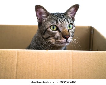 Siamese cat sit in Kraft box isolated on white background with clipping path