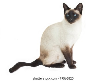 Siamese cat sitting up and alert, isolated on white (Felis catus).