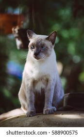 A Siamese cat is sitting on the top of a big jar. This kind of cat has grey body with dark brown face, ears, legs and tail. Some has blue eyes.