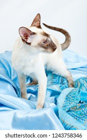 Siamese Cat standing on a blue kerchief