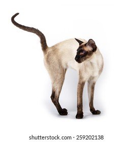 Siamese cat standing with raised tail Isolated on white background