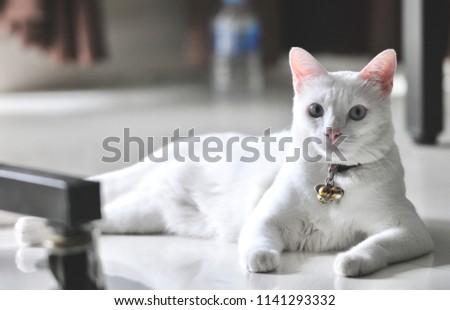 Siamese Cat Thai Domestic Cat Very Stock Photo Edit Now 1141293332