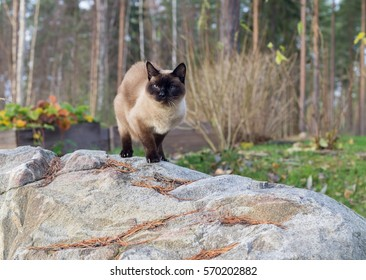 Siamese cat is walking outside on the cobbles.