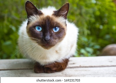 Siamese cat warily watching, sitting on a wooden bench